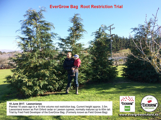 Root restriction trial 10 year old Lawsoniana Trees in EverGrow Bags