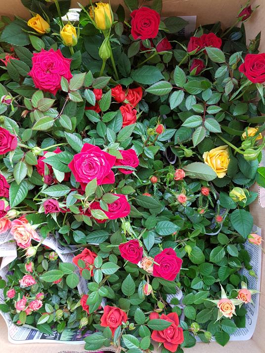 Rose plants gift flowers