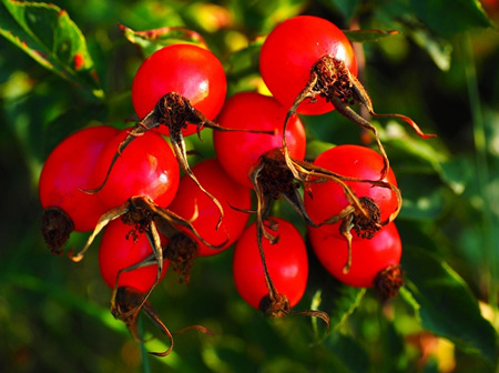 Rosehips: The good, bad, right, and wrong