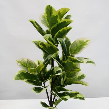 Rubber Plant varigated 4501