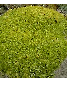Sagina subdulata 'Aurea'