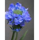 Scabiosa spray water stem 1129 blue