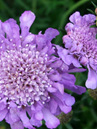 Scabiosa 'Lavender Glow'