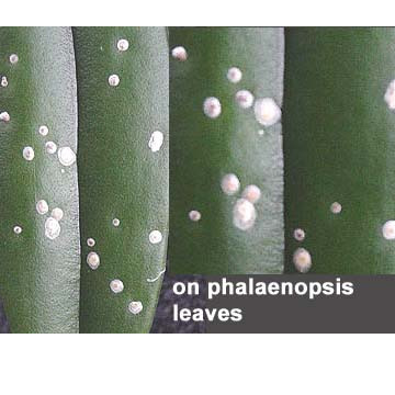 Scale Insects on Orchids