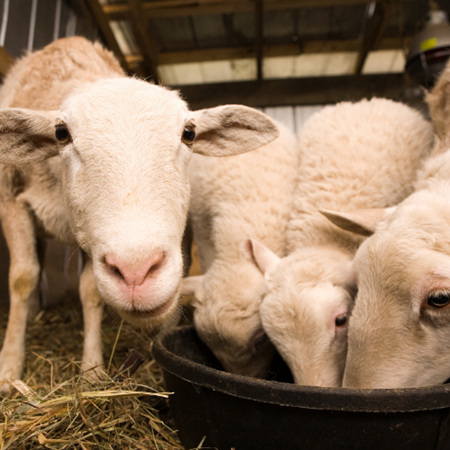 Sheep Food & Supplements