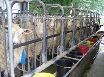 sheep milking
