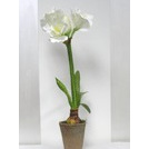 Amaryllis Potted Plant with bulb 1240