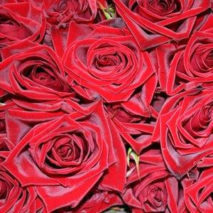 Single Premium Red Rose Valentines Week 9th - 14th February