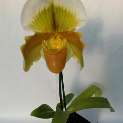 Slipper orchid hybrids