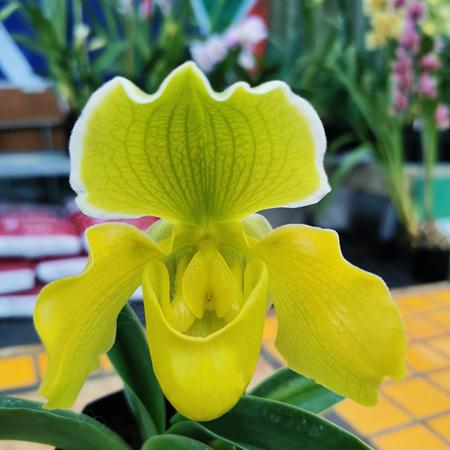 Slipper orchid hybrids 8