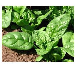 Spinach Leaf Spray Free Bagged  (approx 350-400g)