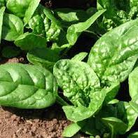 Spinach Leaf Spray Free Sleeves