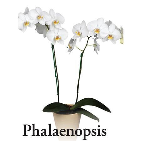 Standard White Phalaenopsis Orchid Plant