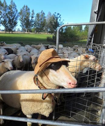 sun protection sheep