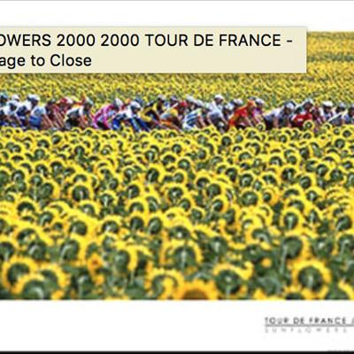 Sunflowers, 2000 TDF - Mini Poster