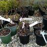 Syringa vulgaris Pat's Lilac