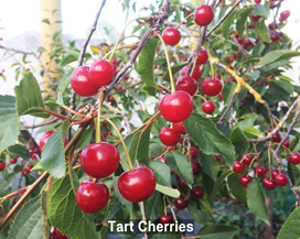 Tart Cherries for Sale