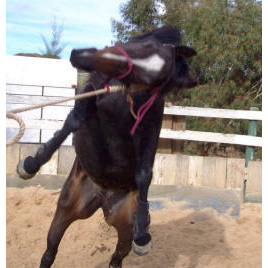 The Violent Pull Back Horse