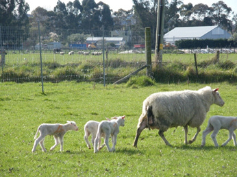 Then it is time to give birth.  Sometimes more lambs than expected.