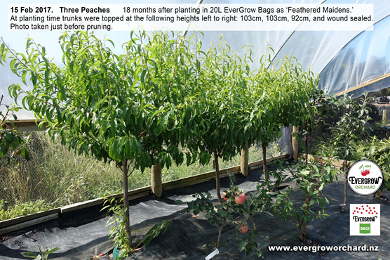 Thriving peach trees in EverGrow Bags prior to pruning
