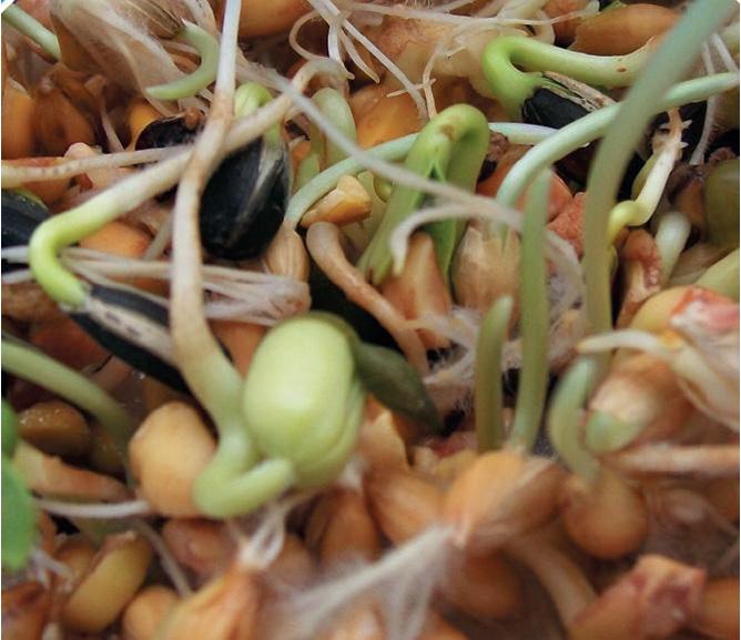 Topflite Soak & Sprout