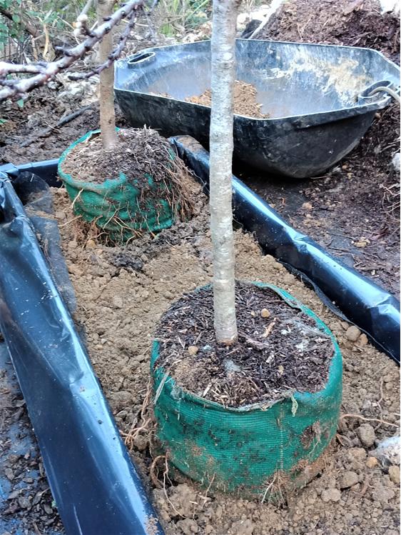 Tree bag on Orchard