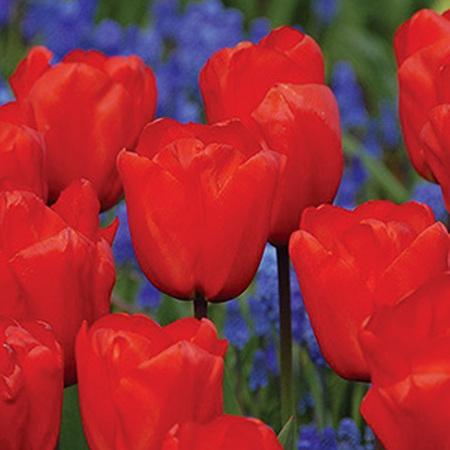 Tulip Lalibela