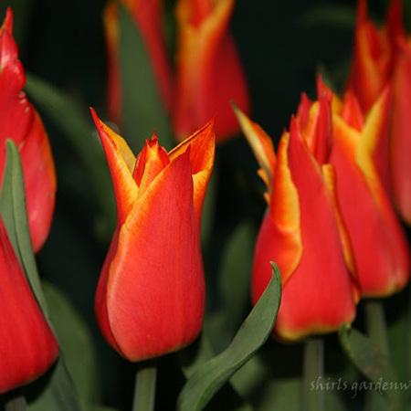 Tulip Royal Design