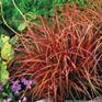 Uncinia uncinata Red