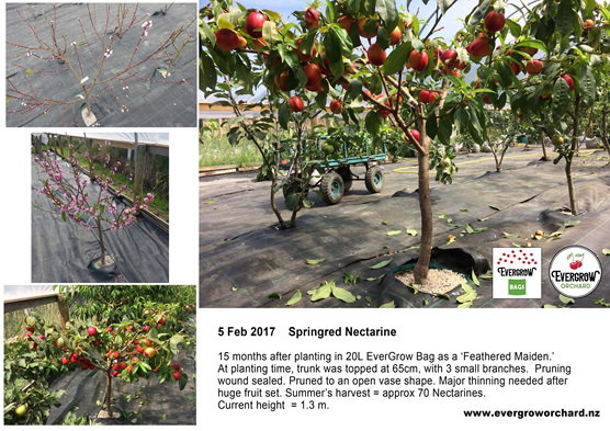 Using an EverGrow Bag produces 70 Nectarines from this young Springred