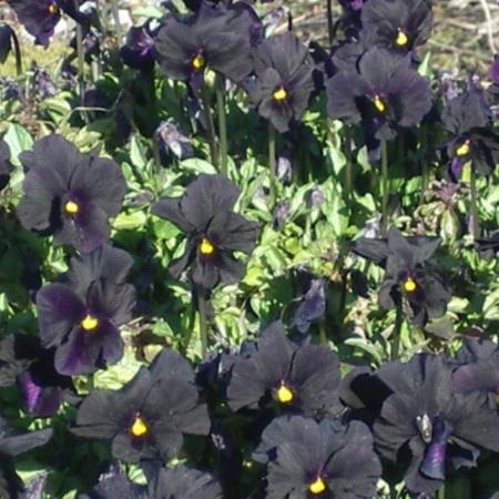 Viola All Black
