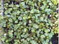 Viola odorata Swanley White
