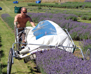 Wayne harvesting at Lavender Magic