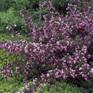 Weigela florida Foliis Purpureis
