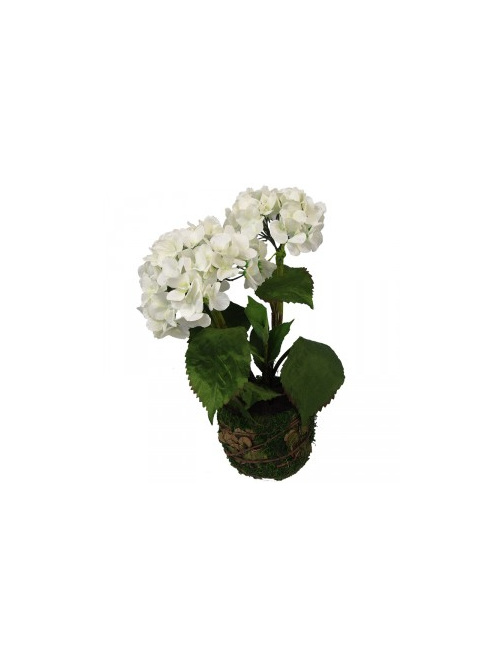 White hydrangea two flower heads in moss pot