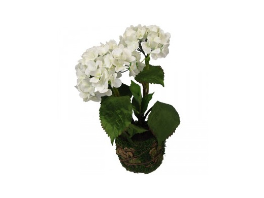 White hydrangea two flower heads in moss pot