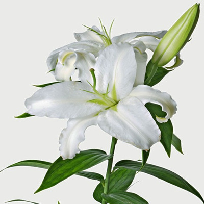 Scented Lily