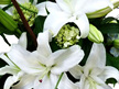 white lily vox