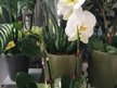 White orchid plant delivery to Mt Roskill and Auckland suburbs