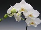 white phalaenopis orchid plant