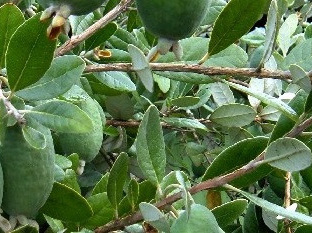 Why I don't recommend feijoa wood