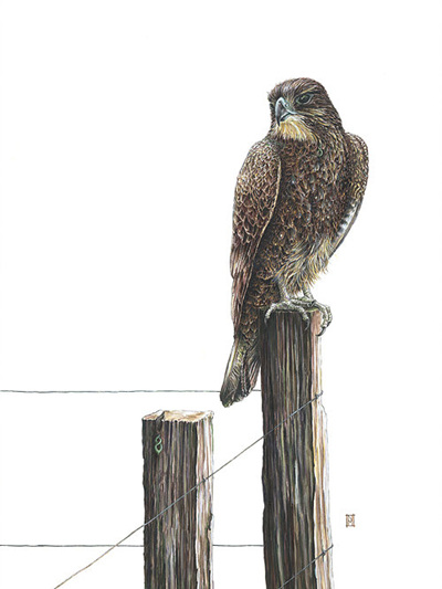 Wild Grey Fox - Karearea- NZ Falcon by Nikki McIvor