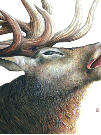 Wild Grey Fox - Roaring Stag Print by Nikki McIvor