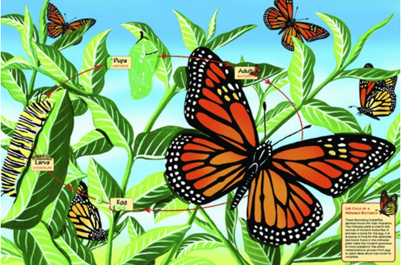 www.puzzlesnz.co.nz has 48 piece floor puzzle Monarch Butterfly Life Cycle