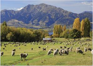 Holdson Pieces of New Zealand S4 1000 Piece Jigsaw Puzzle  Farmland Sheep