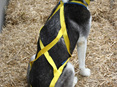 X-Back Sled Dog Harness
